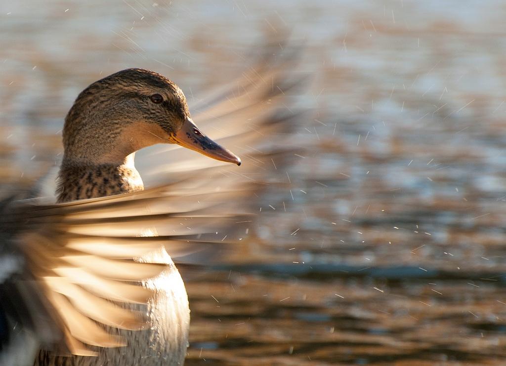 Eend Duck