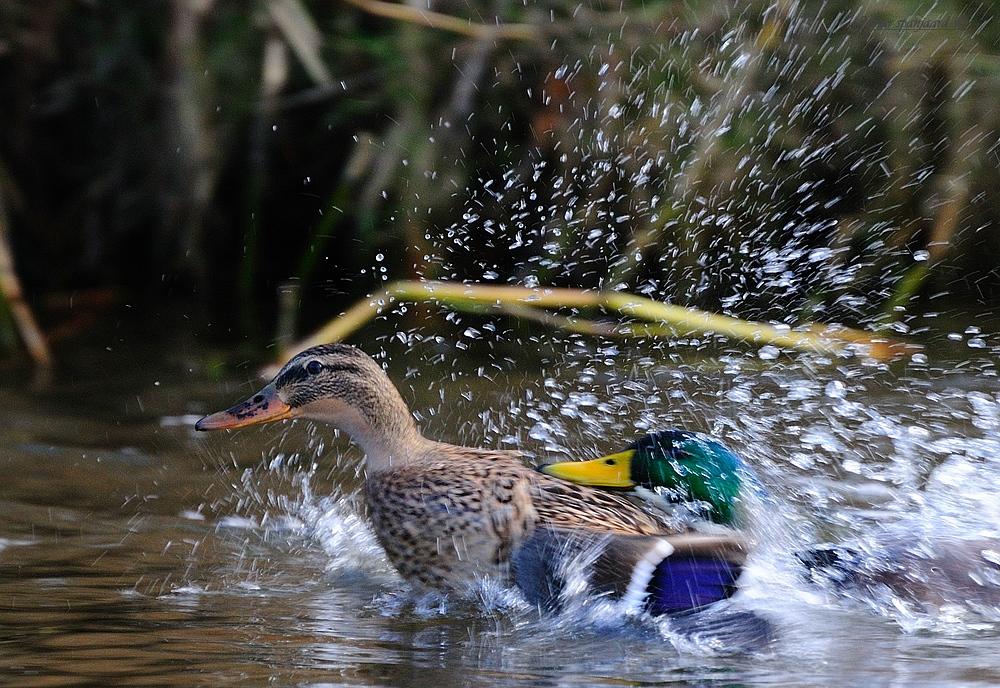 Duck Eend
