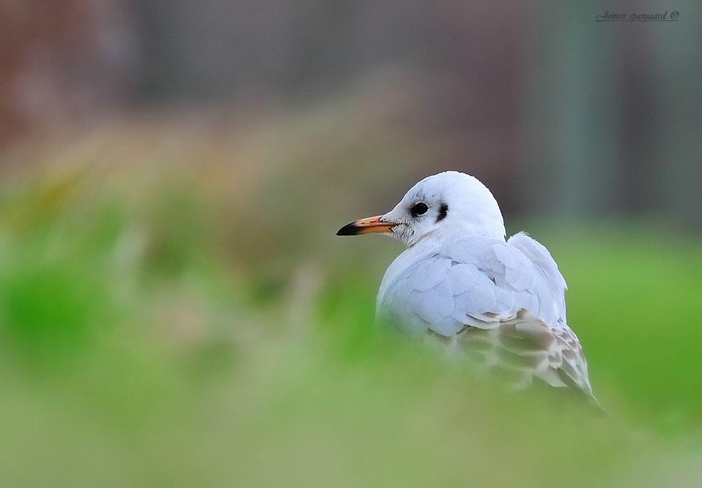 Gull Kokmeeuw