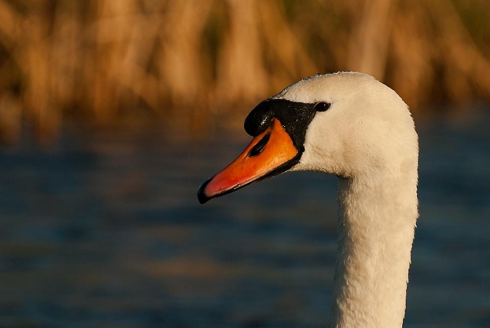 Muted Swan - Zwaan