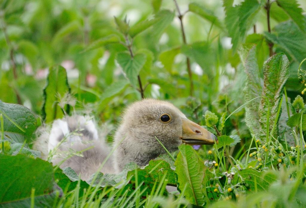 Goose gans
