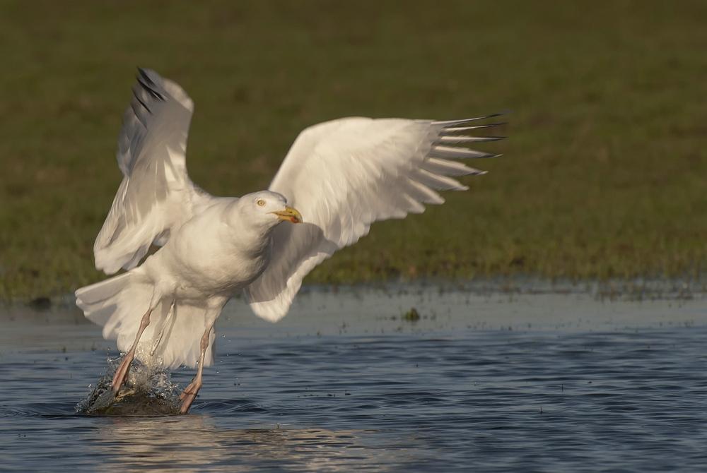 European Herring Gull - Zilvermeeuw