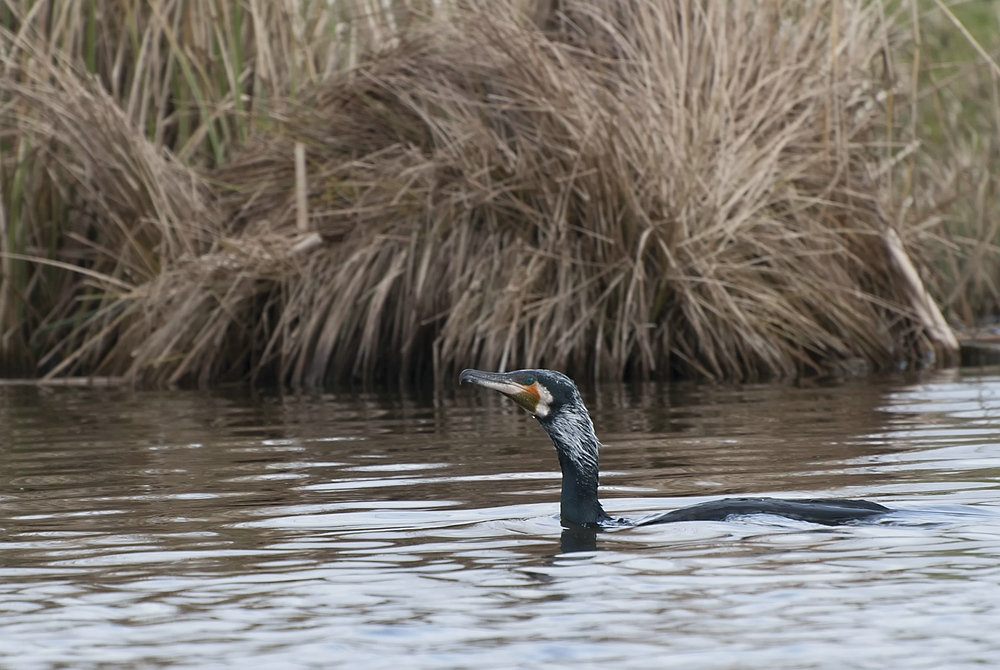 Great Cormorant -  Aalscholver