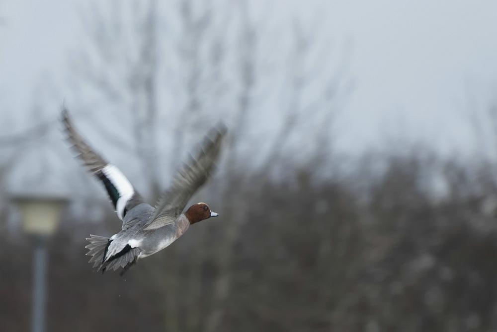 Eurasian Wigeon - Smient