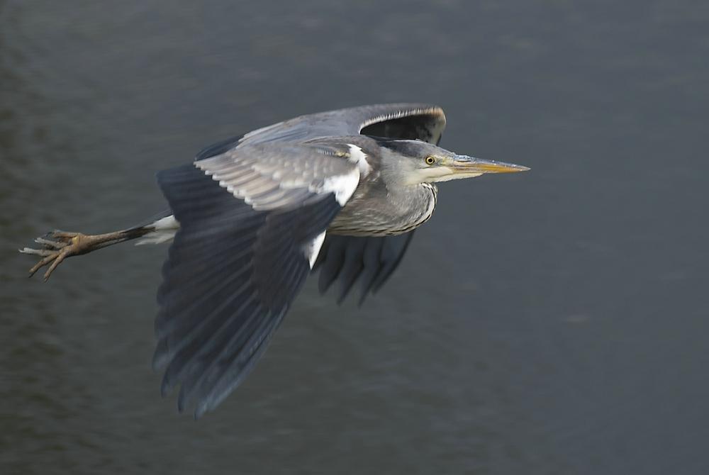 Great Bluue Heron - Blauwe Reiger