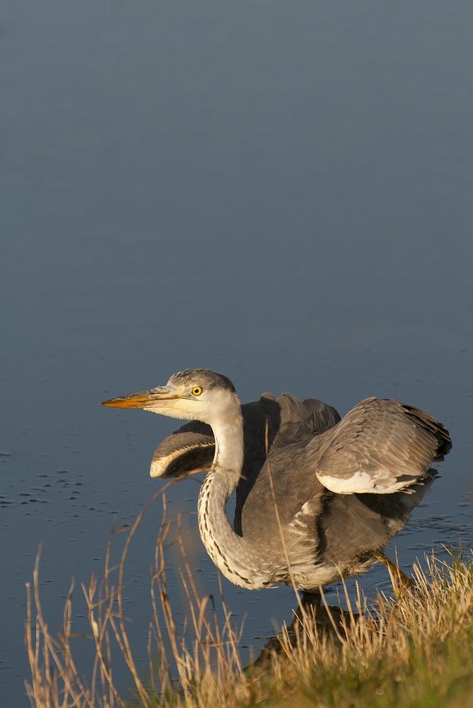 Great Blue Heron - Blauwe Reiger