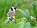 Putter European Goldfinch