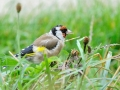 Putter European Goldfinch