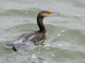 Aalscholver - Great Cormorant