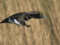 Tufted Duck - Kuifeend