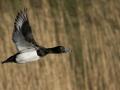 Tufted Duck - Kuifeend