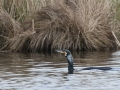 Great Cormorant -  Aalscholver