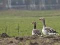 Goose - Gans
