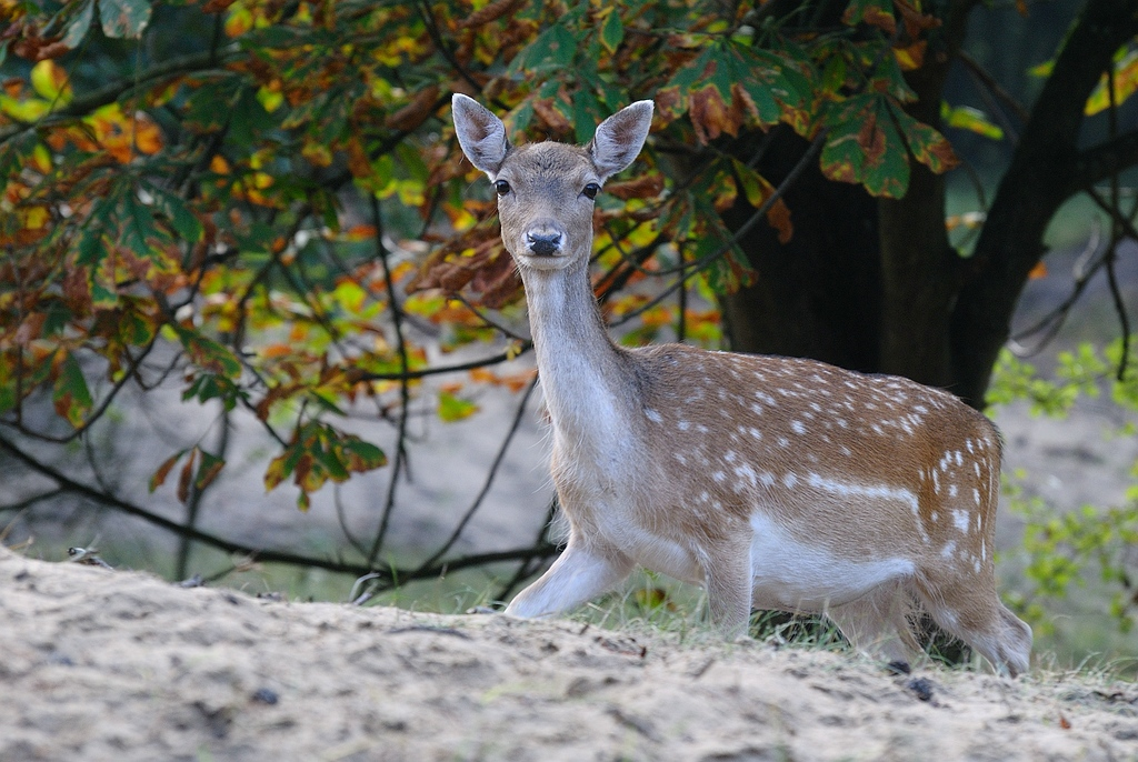 Deer - Deer- Herten - Hert