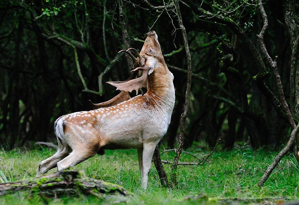 Deers - Deer- Herten - Hert