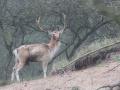 Deer - Fallow Deer- Herten - Hert