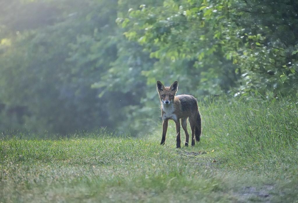 Red fox - Rode vos