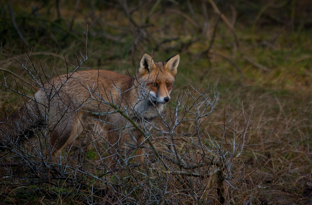 Foxes - Fox - Vossen -Vos