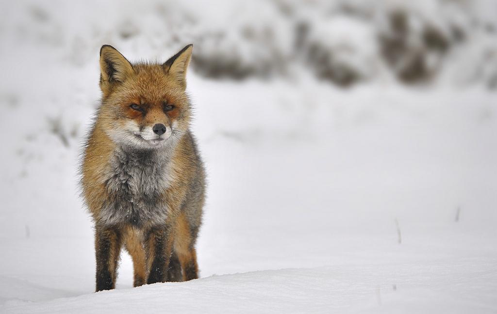 _ Foxes - Fox - Vossen -Vos