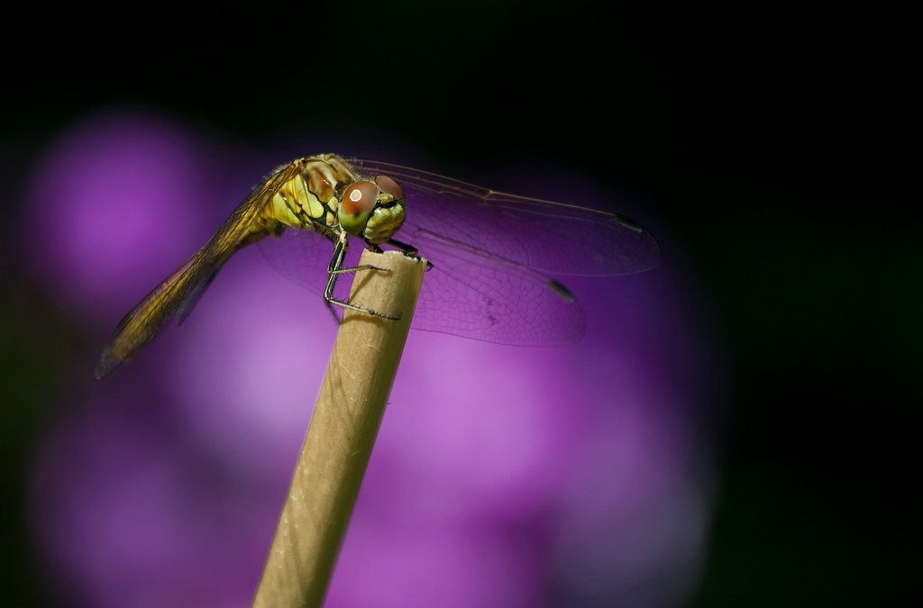 Sympetrum striolatum - Bruinrode heidelibel - Common darter dragonfly