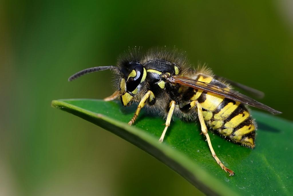 Vespula vulgaris - wesp - Common wasp