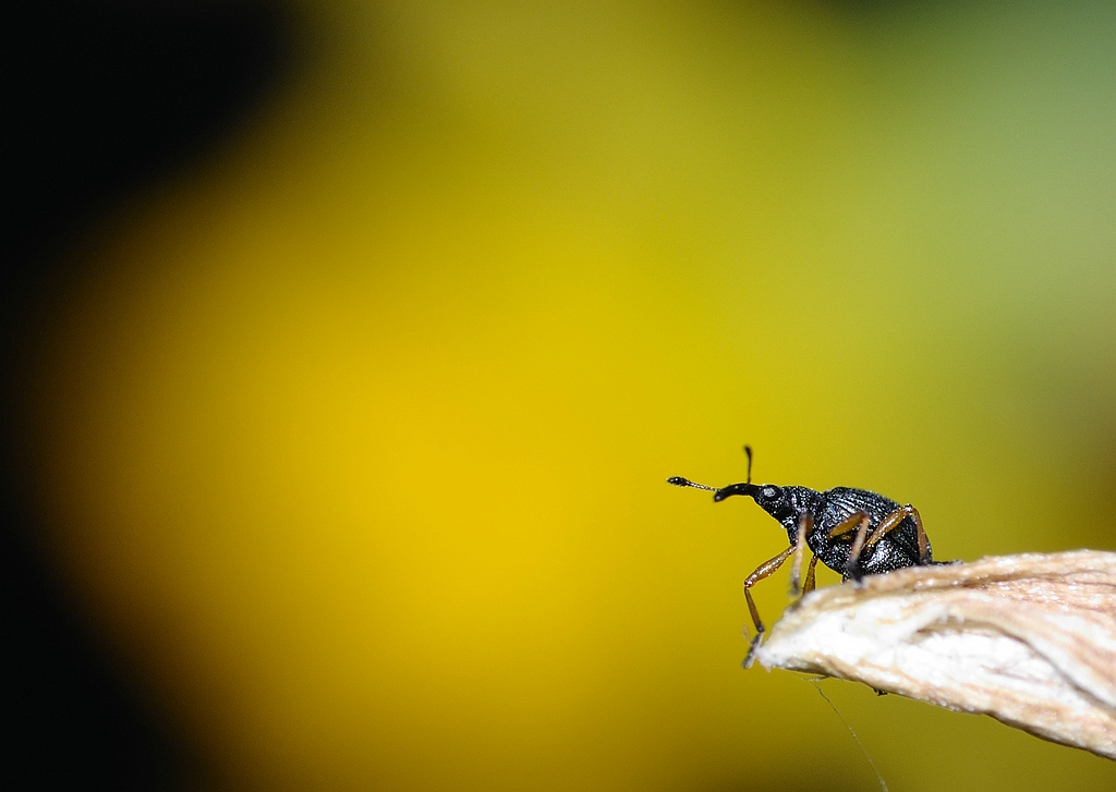 Snout beetle - snuitkever