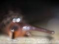 Limax maximus - Grote Aardslak - Leopard Slug