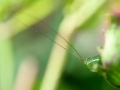 Leptophyes punctatissima - Struiksprinkhaan - Speckled bush cricket