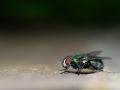 common fly - vlieg -