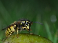 Vespula vulgaris - wesp - Common wasp