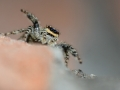 Marpissa muscosa - Jumping Spider - Springspin