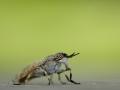 Haematopota pluvialis - Regendaas - Cleg fly