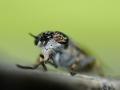 Haematopota pluvialis - Regendaas - Cleg flys