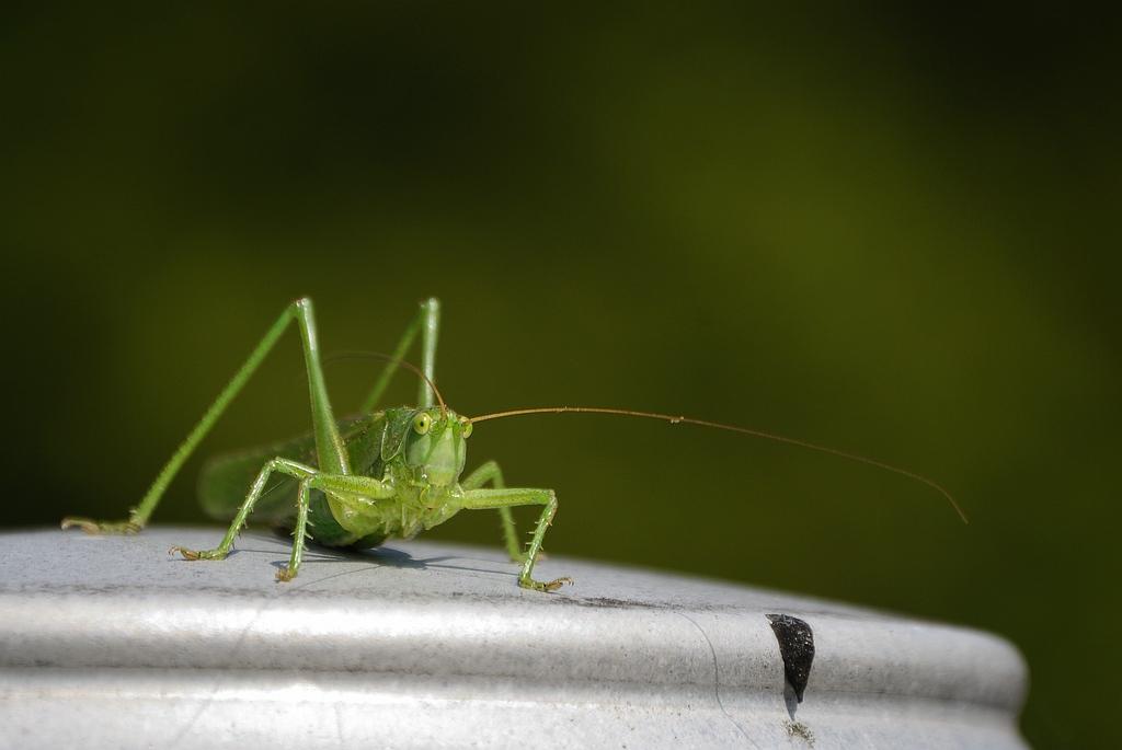 Leptophyes punctatissima - Struiksprinkhaan - Speckled bush cricket