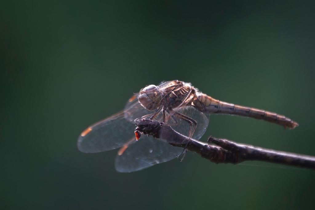 Steenrode heidelibel (Sympetrum vulgatum )