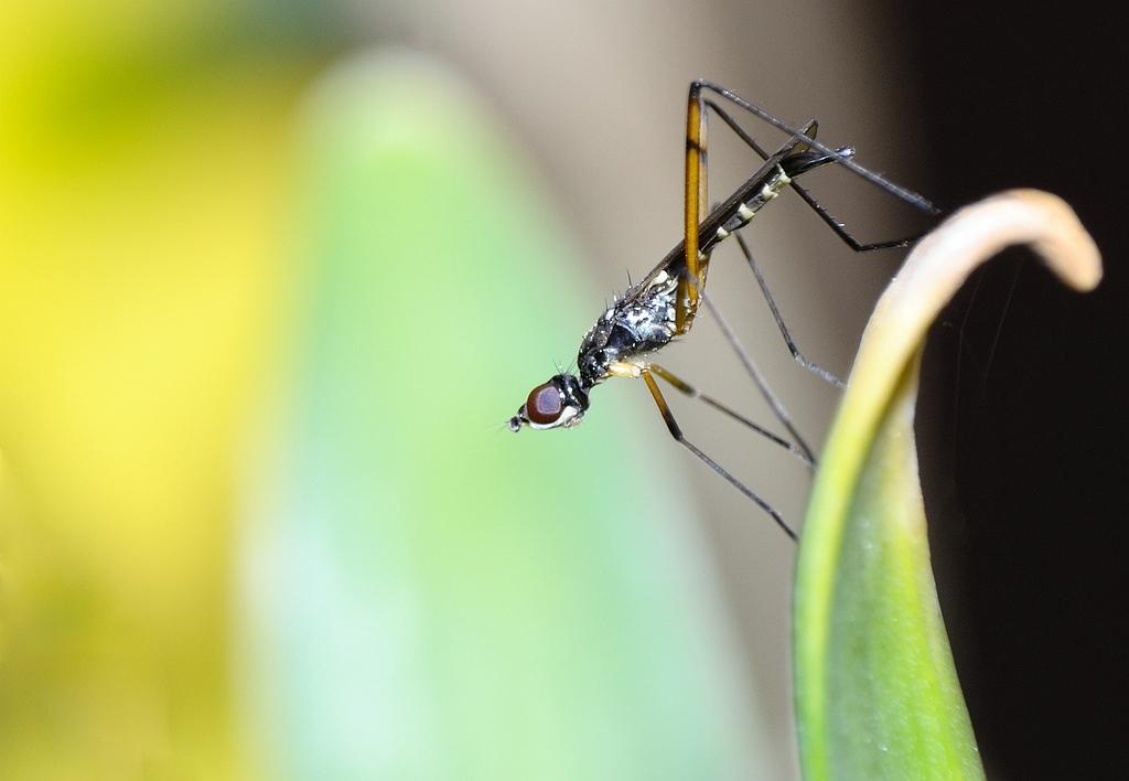 Stelt legged fly - Steltvlieg