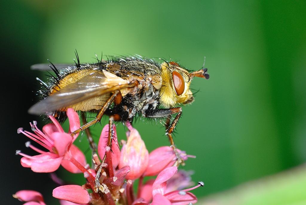Tachina fera - Woeste Sluipvlieg - Tachinid Fly