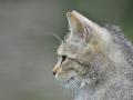 Wild Cats - Wilde cat